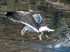 Gull feeds in Maspeth Creek