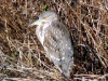 Juvenile Black-Crowned Night Heron at Maspeth Creek